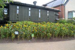 Sunflowers - Horniman Museum & Gardens