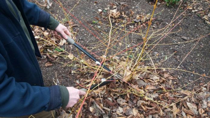 Spring pruning – Dogwoods Cornus sanguinea 'Midwinter Fire'